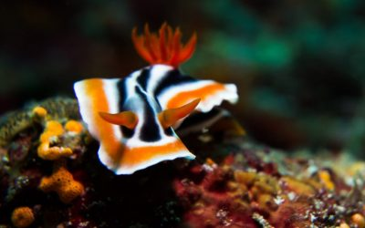 Nudibranch in the Philippines, picture by Kris Michael Krister