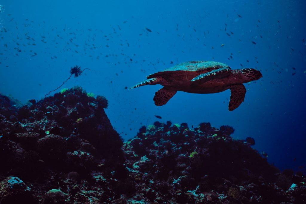 Apo Island scuba dive guide